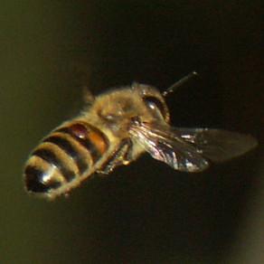 La Varroa - una amenaza grave para las abejas