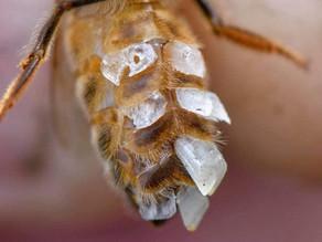 Wie entsteht eigentlich Bienenwachs?