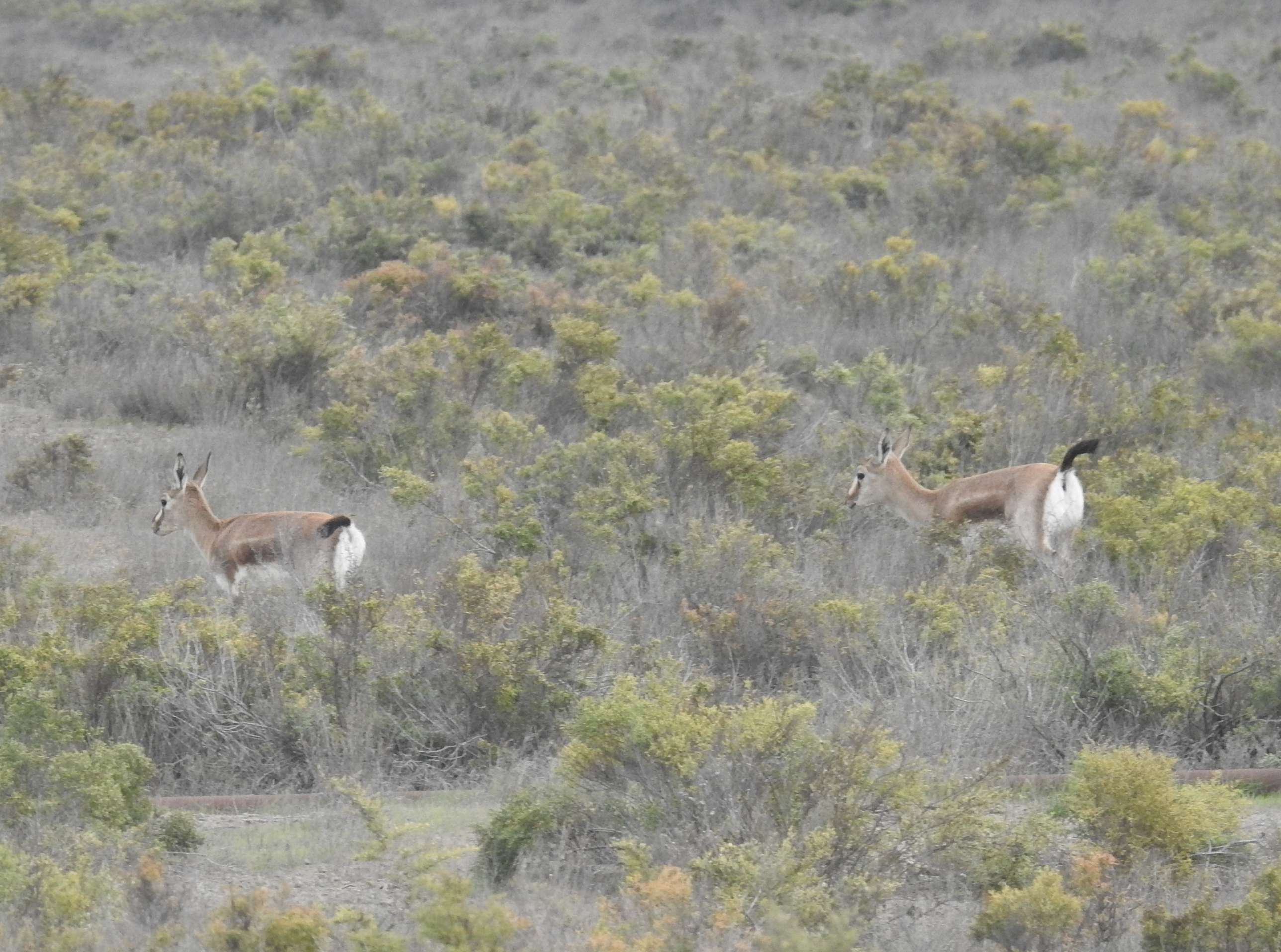 Female Gazelles