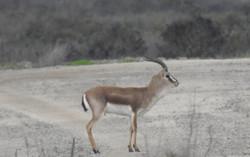 Male gazelle