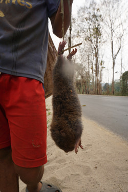 captured mole