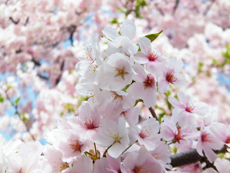 The Beauty of the Blossoms