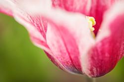tulipe-ca mijote