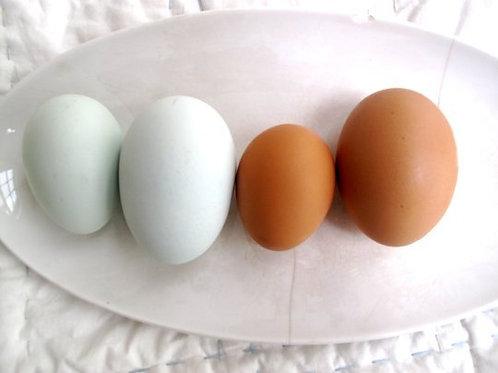 1 dozen Free Range Duck Eggs