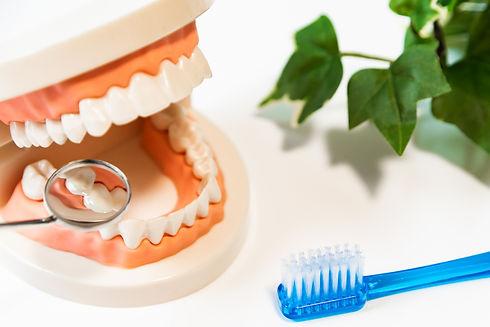 中山たく歯科医院・歯のモデル