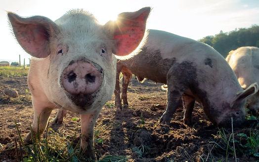 pigs-in-field.jpg