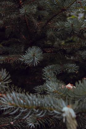La forêt des sapins verts.