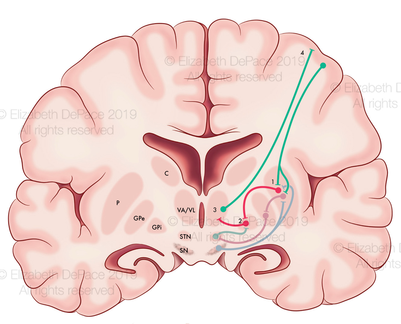 Intrinsic Pathways Brain Close Up