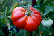 It's All About Tomatoes | The Social Garden