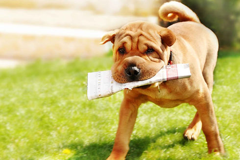How-to-Train-Your-Dog-to-Poop-on-Newspap