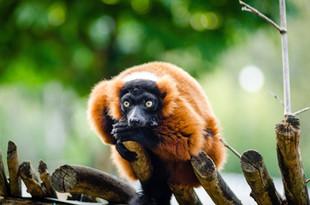 red_ruffed_lemur_1082476_1920.jpeg