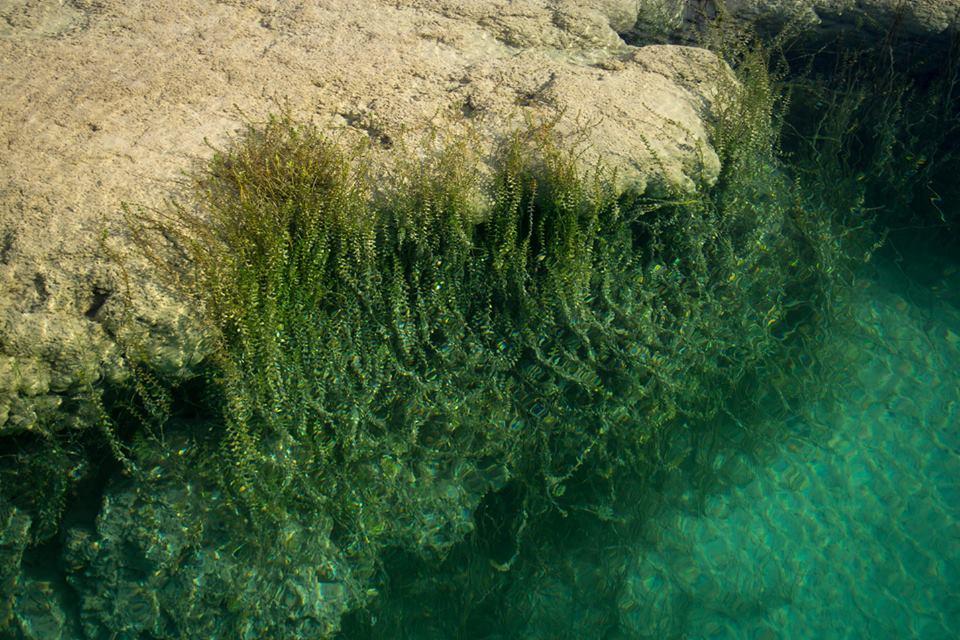 Crecimiento de algas verdes sobre estromatolitos