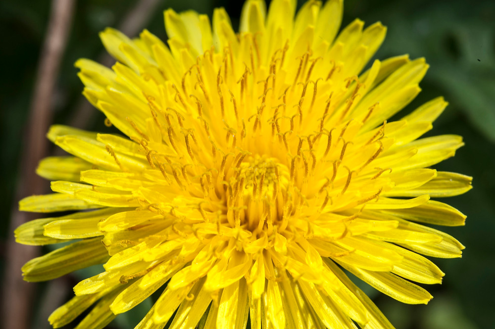 Close up of a not so perfect Dandelion Flower