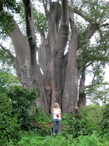 Grandmother Baobab