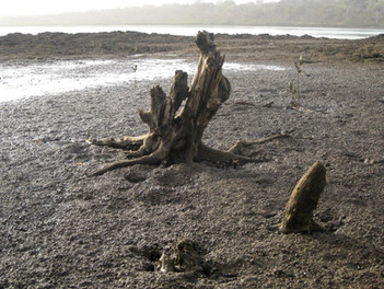 Broken Trees in Oyster Bed