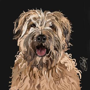 Wheaten Terrier - Dog Portrait
