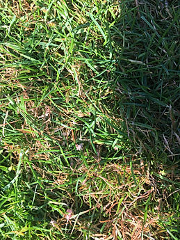 Read thread lawn disease