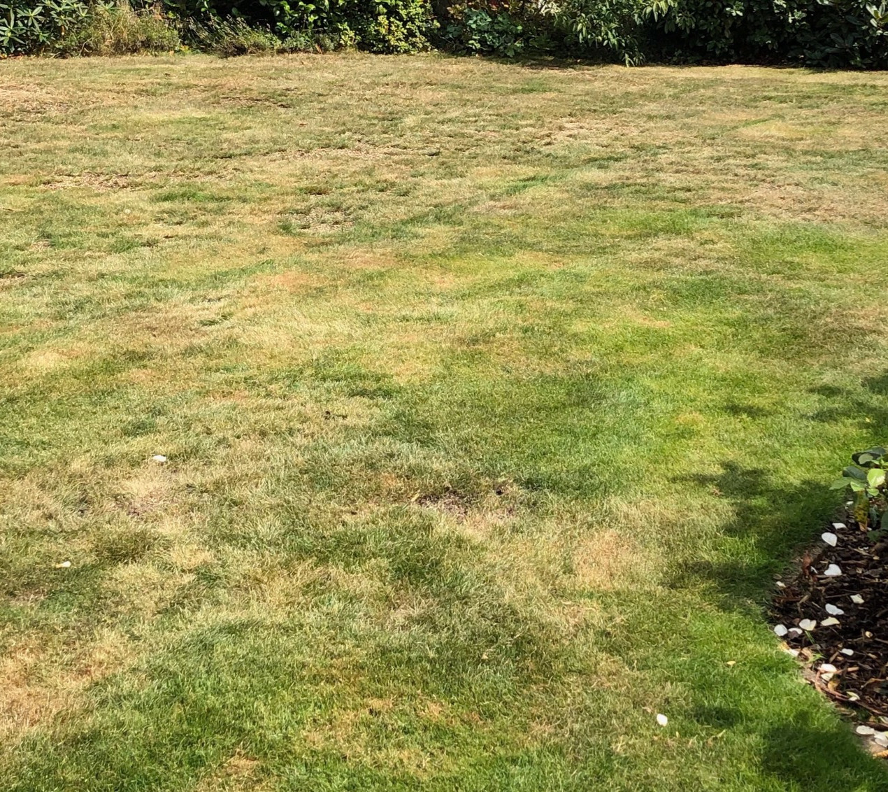 Dry brown lawn in Summer