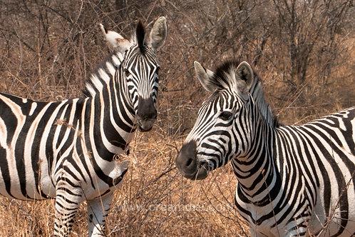 Curious zebras - Kruger National Park