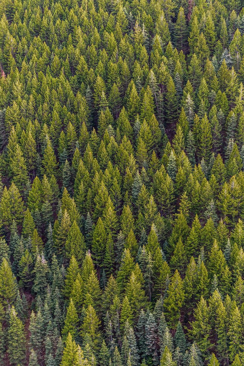 green-pine-trees-1179229.jpg