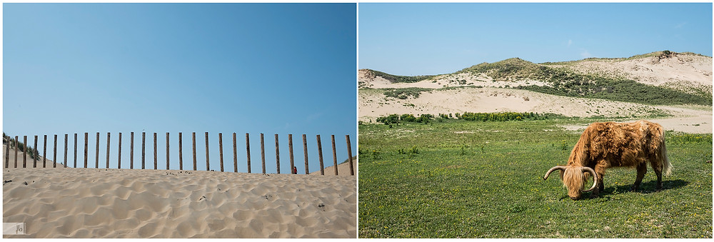 Bloemendaal, Büffel, Strand, Düne, blauer Himmel