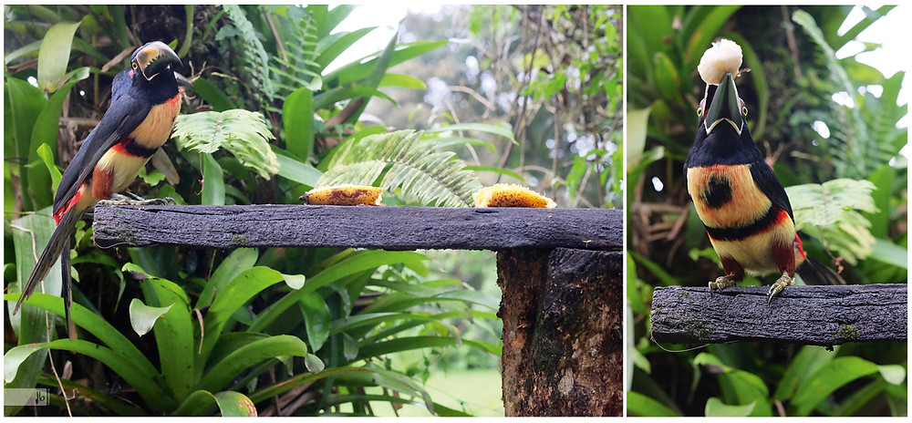Tukanfütterung, Tukan, Banane, Costa Rica