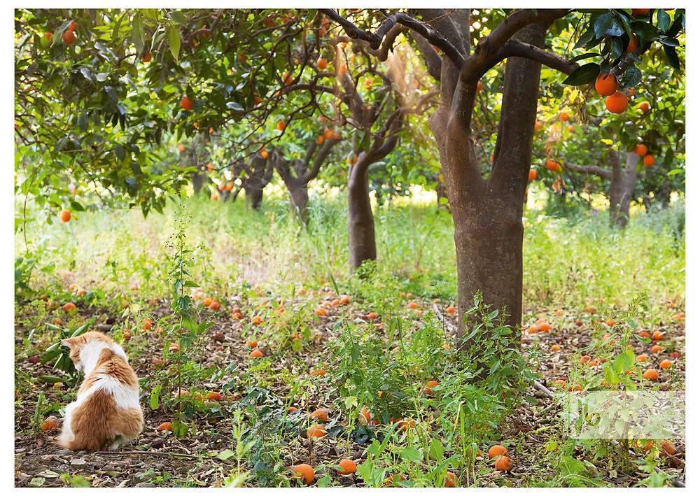 orange Katze im Orangenfeld, Tierärztepool, Arche Noah Kreta