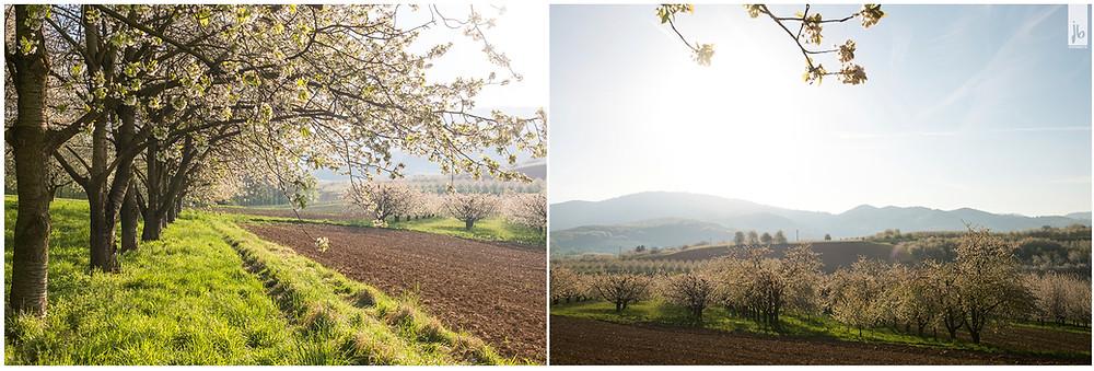 sonnenaufgangseite Kirschbäume, Sonnenaufgang, Kirschbaum