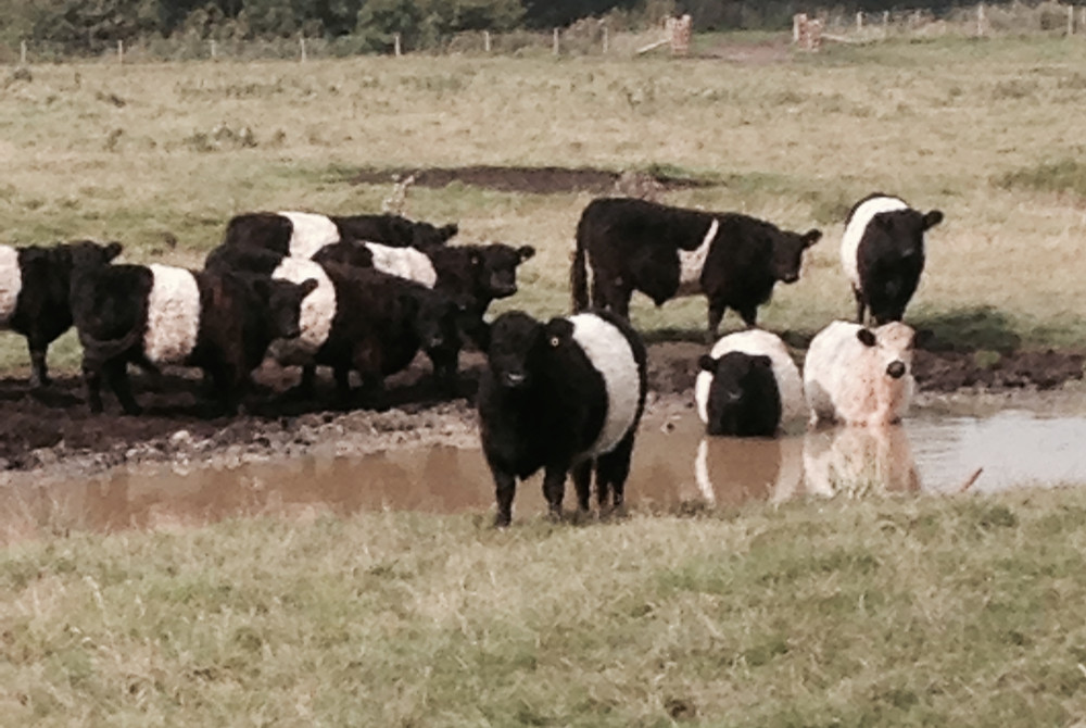Belted Galloways at our Wetland Reserve