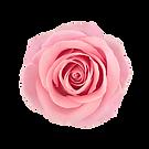 pinkrose.png
