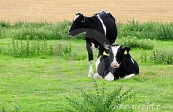 fresian-cows-6277819