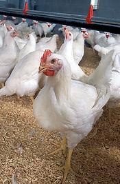 393px-Poultry_Classes_Blog_photo_-_Flick