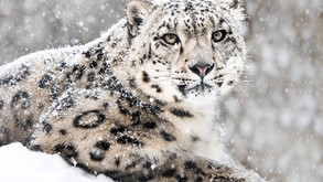 ENDANGERED SPECIES: See snow leopards live