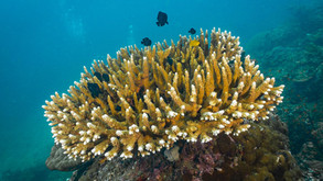 GREAT BARRIER REEF: Dramatic coral bleaching