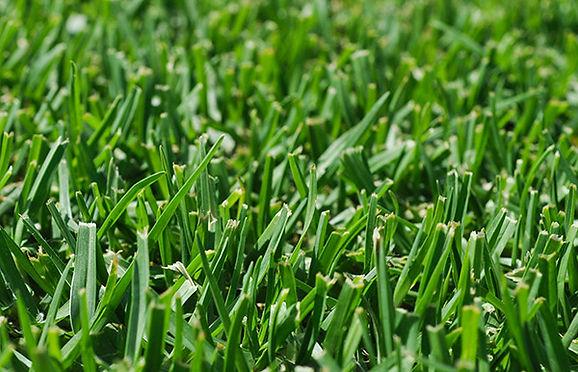 Kikuyu Lawn
