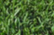 Soft Leaf Buffalo Lawn