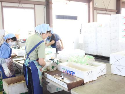 【採用情報】茨城阿見工場でれんこんの洗浄・梱包作業
