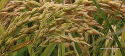 riz de bouchaud arles camargue