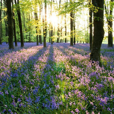 4-1330525270-best-bluebell-woods-dinefwr
