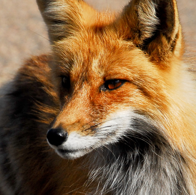 Fox_FavsDSC_0065.jpg