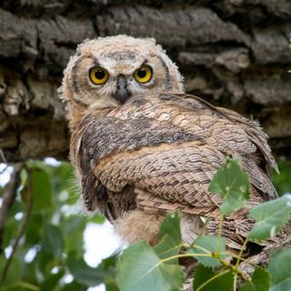 2018-08_Owls_0095_Sm.jpg