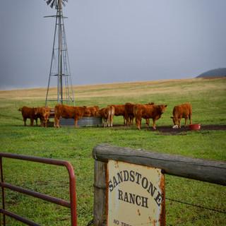 Cows_0043-RT.jpg