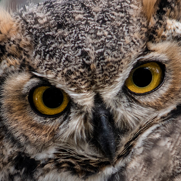 2018-09_Owls in Olive Tree_0054_Cropped_