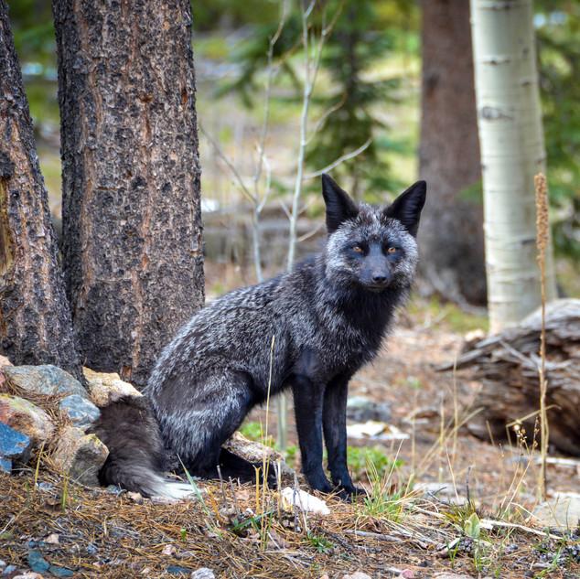 Black Fox_0016_RT.jpg