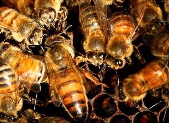 Queenbee Queen Bee Honeybee