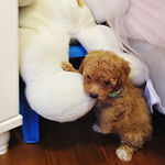 ペット犬モデルのアメリン