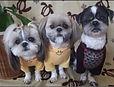 チョークアート・ペット犬の元画像:Pucci,Moocho&Ashちゃん