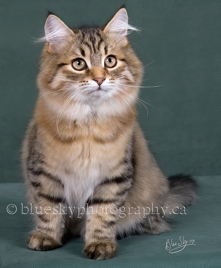 Brown spotted tabby Siberian cat.