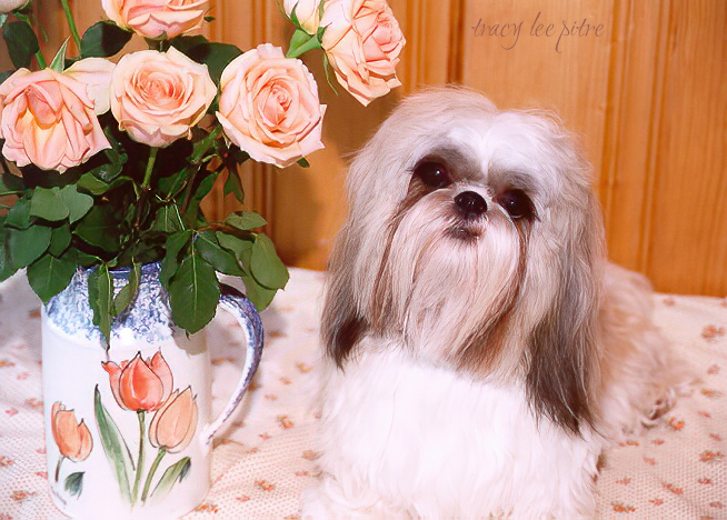 My beloved Shih Tzu, Ajay