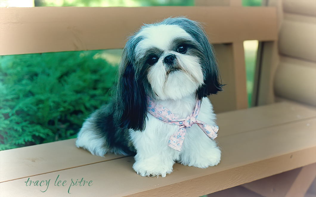 My beloved Shih Tzu, Amber